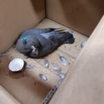 Corimpex the Pigeon Shafton Steel Services